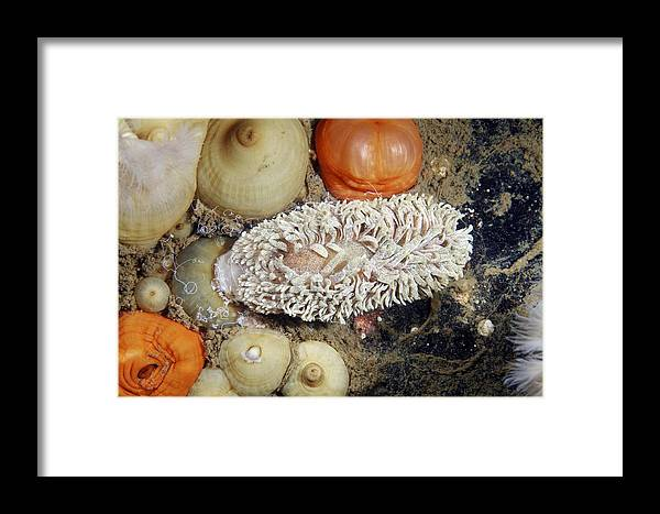 Nudibranch Framed Print featuring the photograph Shaggy Mouse Nudibranch by Alexander Semenov