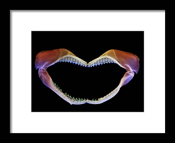 Animal Framed Print featuring the photograph Shark Jaws by D. Roberts