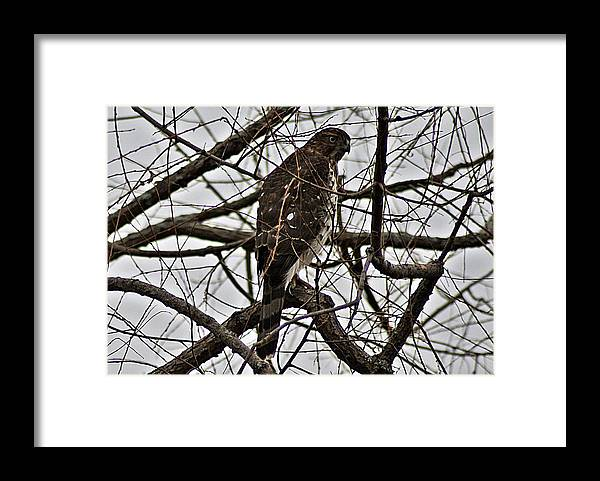 Sharp Framed Print featuring the photograph Sharp Shinned Hawk by Joe Faherty