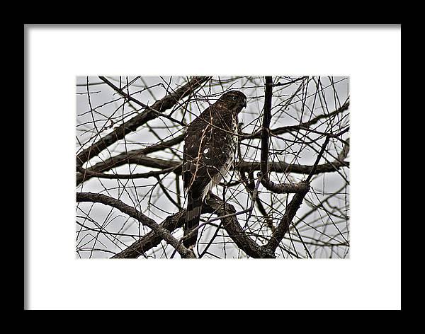 Sharp Framed Print featuring the photograph Sharp Shinned Hawk by Joe Faherty