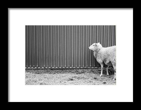 Sheep Framed Print featuring the photograph Sheep And Wall by Smallfort Photography Collection