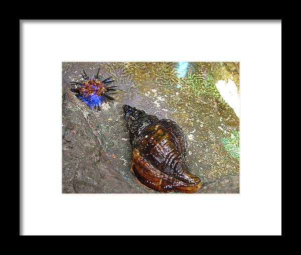 Shell Framed Print featuring the painting Shell by Suzanne Buckland
