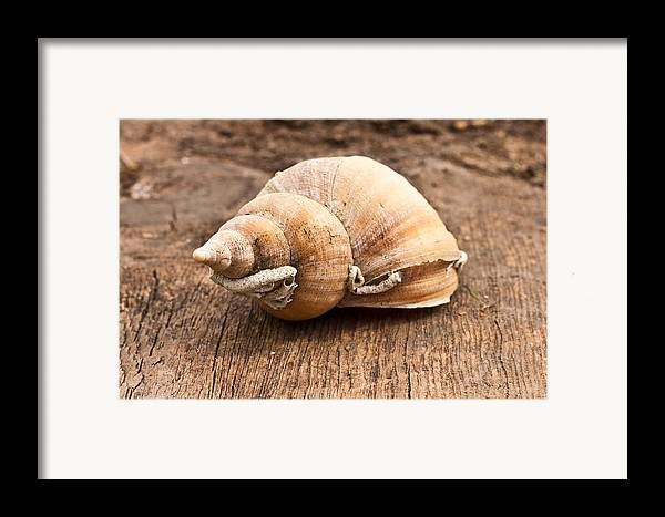 Aquatic Framed Print featuring the photograph Shell by Tom Gowanlock