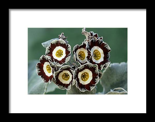 'queen Bee' Framed Print featuring the photograph Show Auricula 'queen Bee' Flowers by Archie Young
