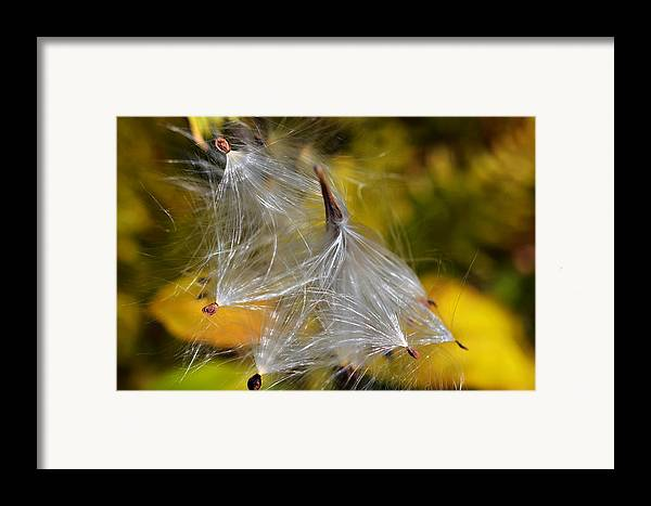 Plant; Weed; Milkweed; Asclepias Syrica; Perennial; Silk; Season; ; Fall; Colorful; Fluffy; Wild; Nature; Seeds; Pod; Group; Many Framed Print featuring the photograph Silky Autumn by Susan Leggett
