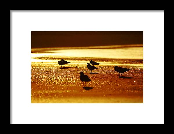 Silver Gull Framed Print featuring the photograph Silver Gulls on golden beach by Andrew McInnes