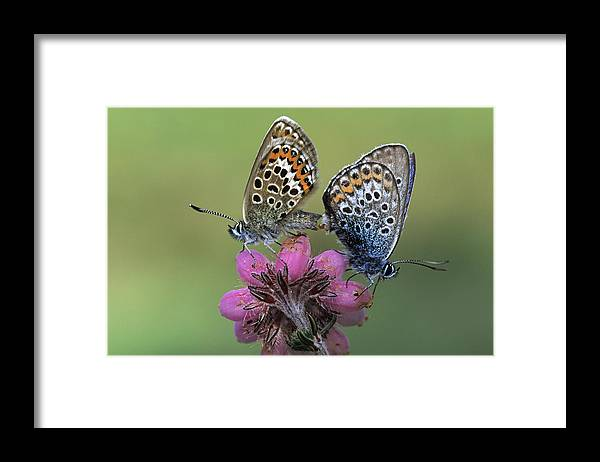 Fn Framed Print featuring the photograph Silver-studded Blue Plebejus Argus by Rob Reijnen