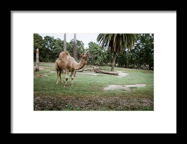 Camel Framed Print featuring the photograph Singing Camel by Val Oconnor