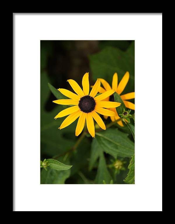 Flower Framed Print featuring the photograph Single Daisy by Megan Cohen