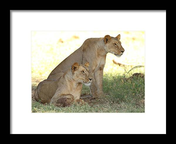 Lion Framed Print featuring the photograph Sisters by Stefon Linton