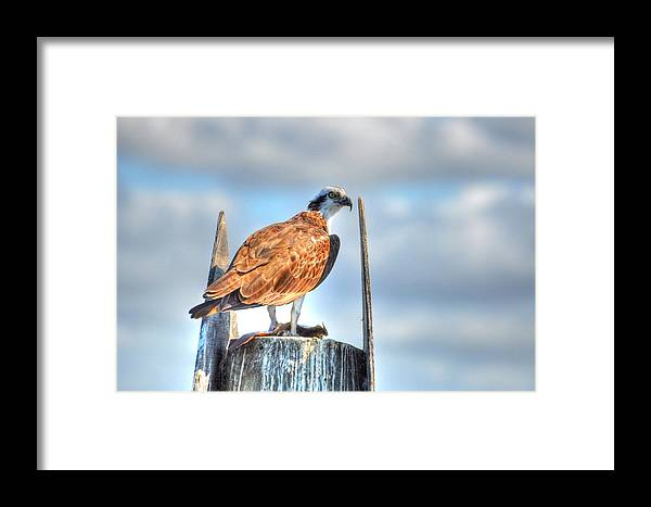 Great Blue Heron Framed Print featuring the digital art Sitting by Barry R Jones Jr