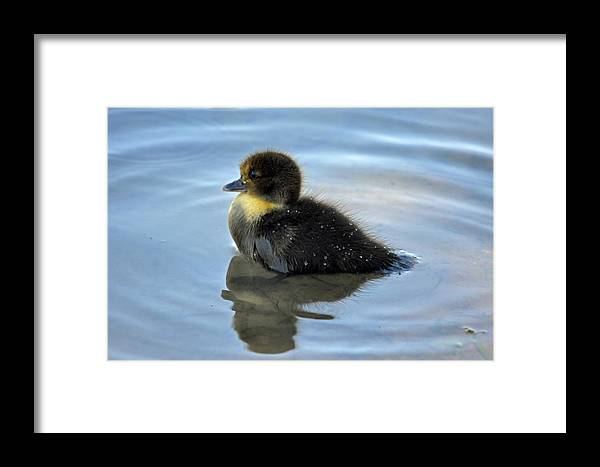 Teresa Blanton Framed Print featuring the photograph Sitting Duckling by Teresa Blanton