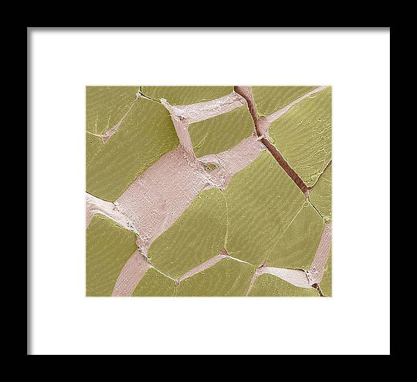 Anatomy Framed Print featuring the photograph Skeletal Muscle Fibres, Sem by Steve Gschmeissner