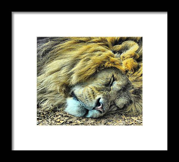 Lion Framed Print featuring the photograph Sleeping Lion by Chris Thaxter