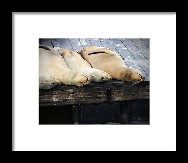 San Francisco Framed Print featuring the photograph Sleeping Lions by Al Perry