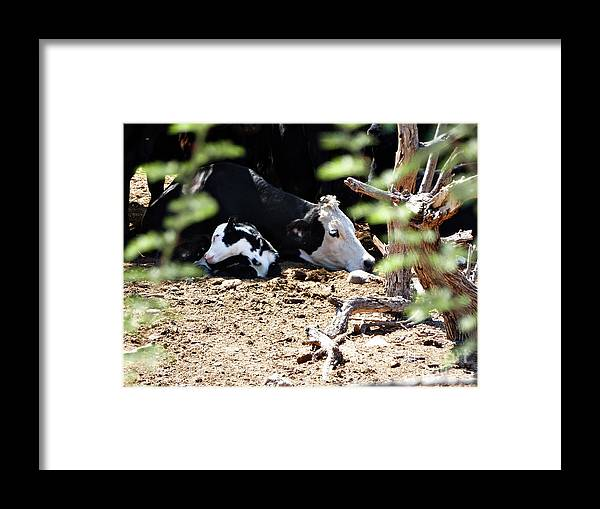 Sleepy Arizona Cows Framed Print featuring the photograph Sleepy Arizona Cows by Methune Hively