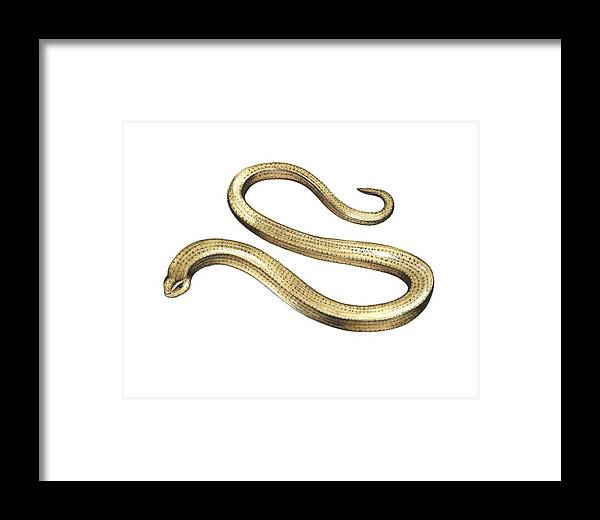 Slow Worm Framed Print featuring the photograph Slow Worm, Artwork by Lizzie Harper