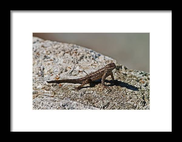 Lizard California Territorial Display Framed Print featuring the photograph Small Lizard by Gregory Scott