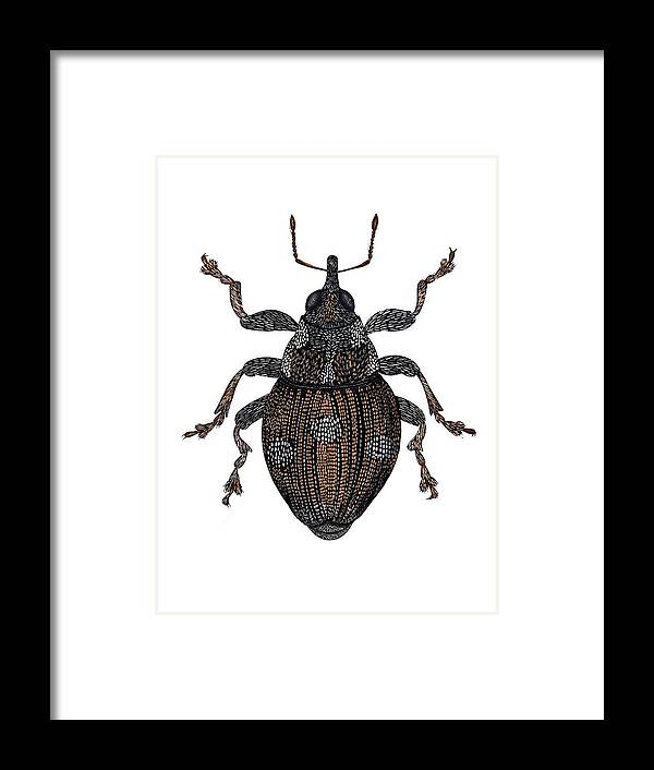 Cidorrhinus Quadrimaculatus Framed Print featuring the photograph Small Nettle Weevil by Dr Keith Wheeler