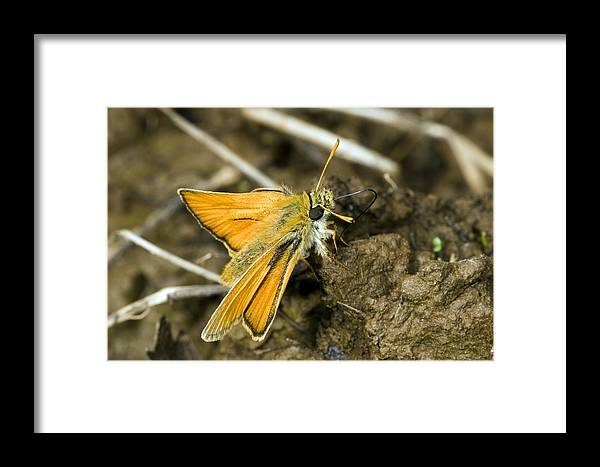 Small Skipper Framed Print featuring the photograph Small Skipper Butterfly by Paul Harcourt Davies