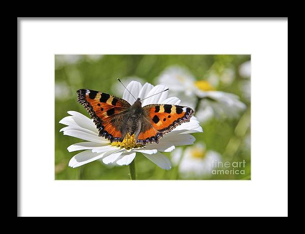 Small Tortoiseshell Butterfly Framed Print featuring the photograph Small Tortoiseshell Butterfly on a Daisy by Mihaela Limberea