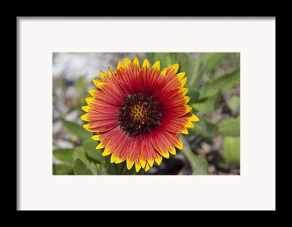 Flower Framed Print featuring the photograph Smiles by Charles Warren