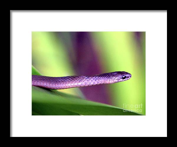 Snake Framed Print featuring the photograph Sneaky Snake...... by Tanya Tanski