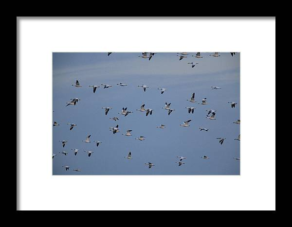 Bombay Hook National Wildlife Refuge Framed Print featuring the photograph Snow Geese In Flight by George Grall