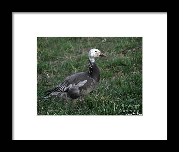 Bird Framed Print featuring the photograph Snow Goose Blue Morph by Donna Brown