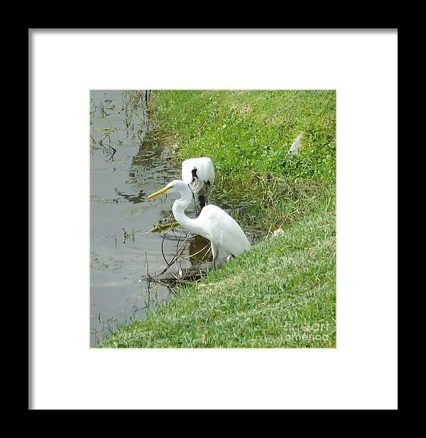 Snowy Framed Print featuring the photograph Snowy Egret by Debbie Wassmann