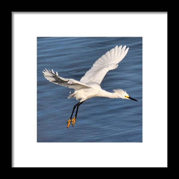 Egret Framed Print featuring the photograph Snowy Egret In Flight #longisland by Lisa Thomas