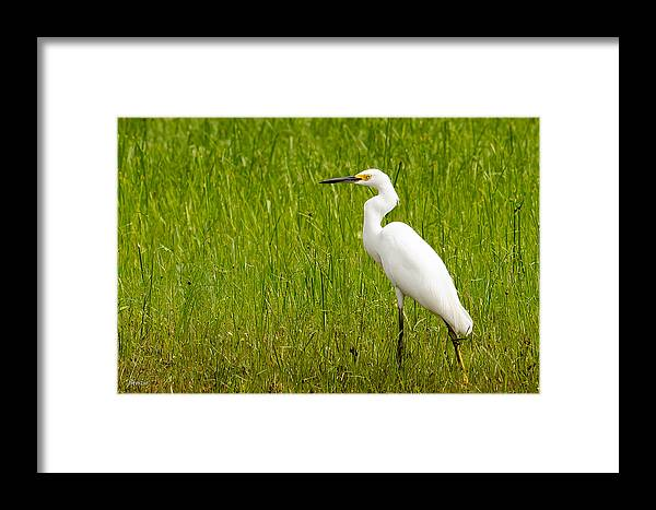 1237 Framed Print featuring the photograph Snowy Egret by Marx Broszio