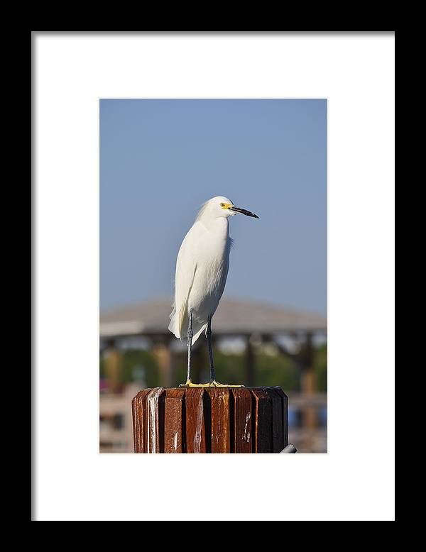 Snowy Egret Framed Print featuring the photograph Snowy Egret Stare Down by Christine Stonebridge