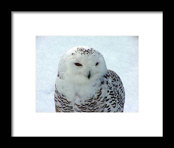Snowy Owl Framed Print featuring the photograph Snowy Owl by Don Downer