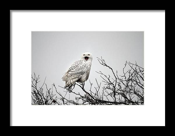 Snowy Owl Framed Print featuring the photograph Snowy Owl In A Tree by Pierre Leclerc Photography