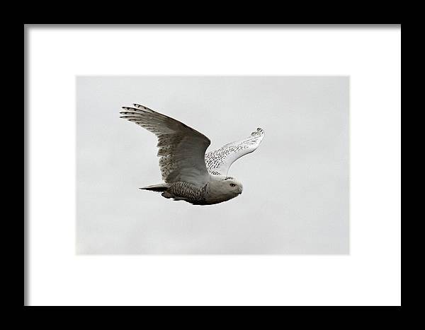 Snowy Owls Framed Print featuring the photograph Snowy Owl In Flight by Pierre Leclerc Photography