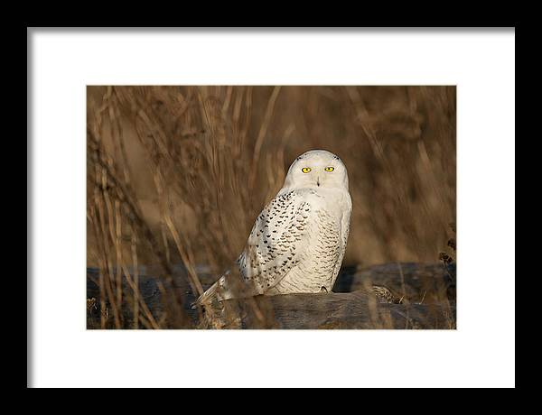 Snowy Owl Framed Print featuring the photograph Snowy Owl by Yoshiki Nakamura