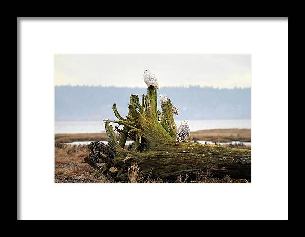 Snowy Owls Framed Print featuring the photograph Snowy Owls by Pierre Leclerc Photography