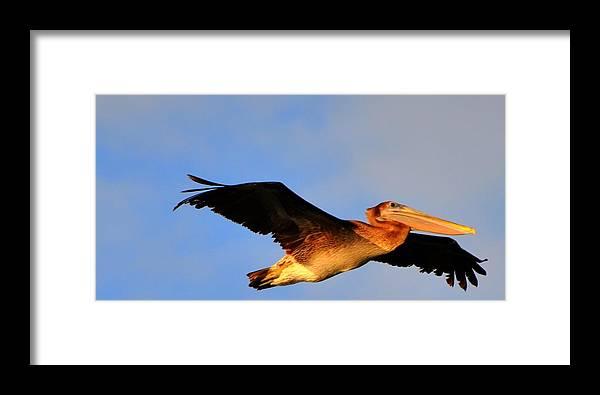 Great Blue Heron Framed Print featuring the digital art Soaring by Barry R Jones Jr