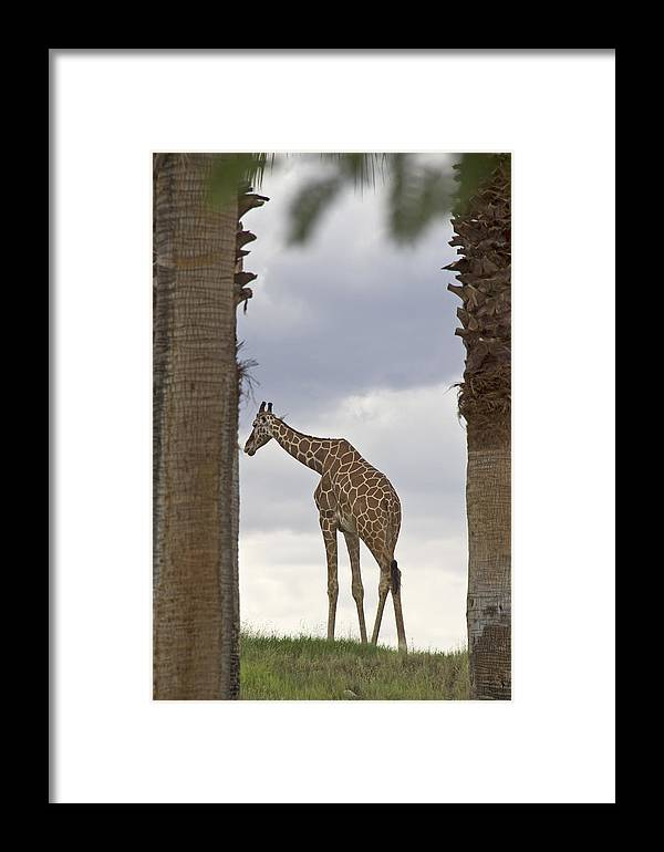 Giraffe Framed Print featuring the photograph Solitary by Molly Heng