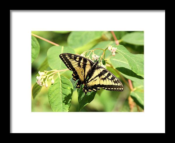 Swallowtail Framed Print featuring the photograph Solitary Swallowtail by Don Downer