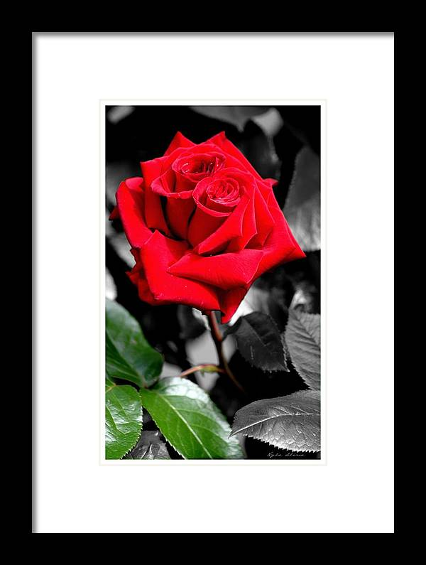 Roses Framed Print featuring the photograph Soulmates Double Center Rose by Nyla Alisia