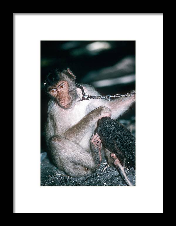 Macaca Nemestrina Framed Print featuring the photograph Southern Pig-tailed Macaque by Georgette Douwma