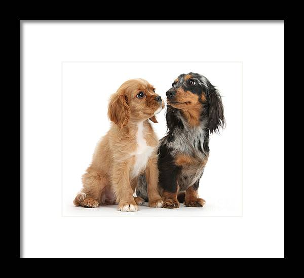 Spaniel Puppy And Full-grown Dachshund Framed Print by Mark Taylor