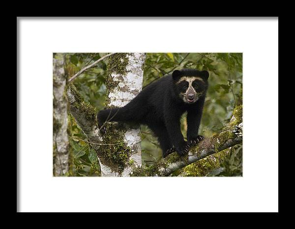 Mp Framed Print featuring the photograph Spectacled Bear Tremarctos Ornatus Cub by Pete Oxford