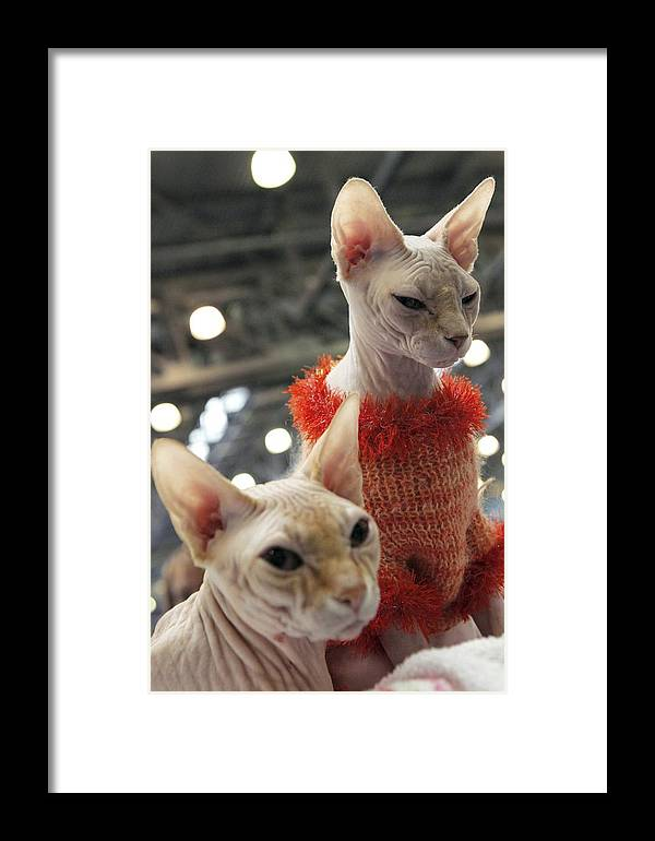 2011 Framed Print featuring the photograph Sphynx Cats by Ria Novosti