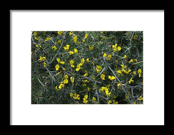 Calicotome Villosa Framed Print featuring the photograph Spiny Broom (calicotome Villosa) by Bob Gibbons