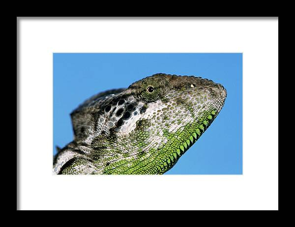 Fn Framed Print featuring the photograph Spiny Chameleon Chamaeleo Verrucosus by Ingo Arndt