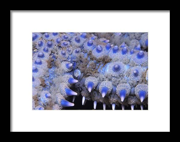 Fn Framed Print featuring the photograph Spiny Starfish Marthasterias Glacialis by Hans Leijnse