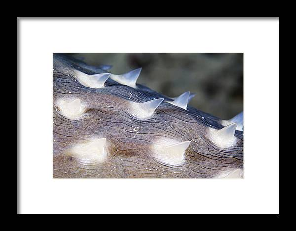 Cyclichthys Spilostylus Framed Print featuring the photograph Spotbase Burrfish Spines by Alexander Semenov